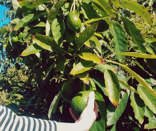 Avoado, avocado, rezepte avocado, gesünder essen für kinder, schnelles essen für kinder, gesundes essen für kinder